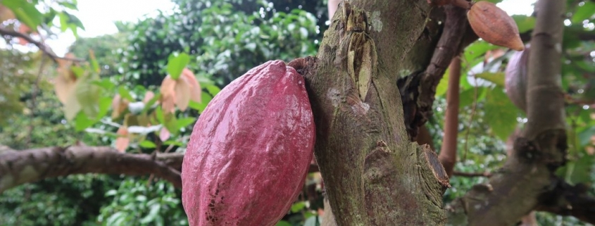 HOW DO YOU KNOW WHEN COCOA IS RIPE TO HARVEST?