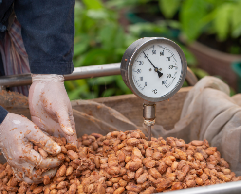 Fermenting Cocoa Beans in Thailand