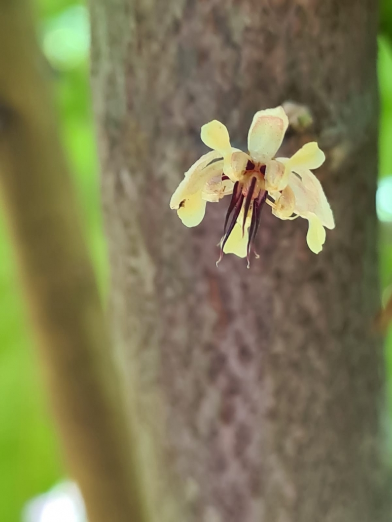 Cocoa Flower