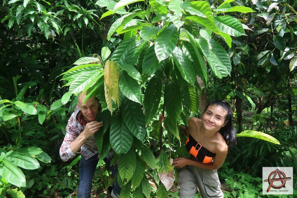 Growing cocoa trees in Thailand