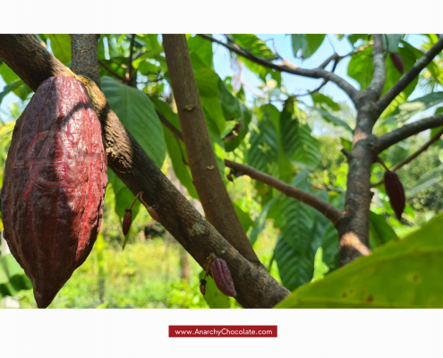 Cacao Trees | Anarchy Chocolate