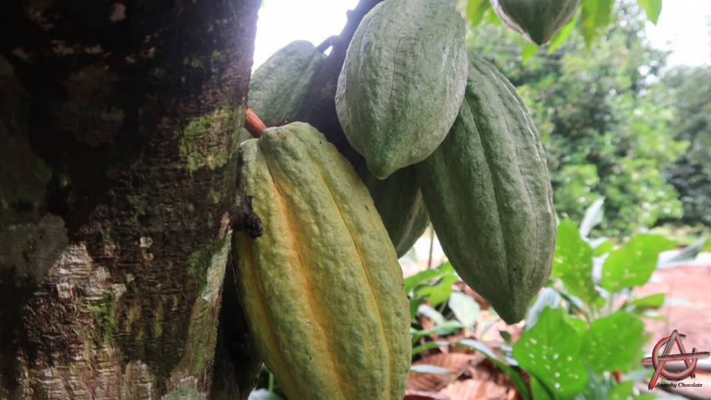 Combat Climate Change with Cocoa