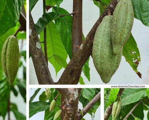 Cocoa Farm Thailand